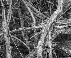 Mangroves in Black and White (Jim Frazier) Tags: 201801floridatrip 2019 bw abstract birds blackandwhite bunch complicated connection desaturated detail dingdarlingnationalwildliferefuge fl flora florida forest fragment fws group january jimfraziercom mangrove mass mess monochrome nationalwildliferefuge natural nature naturepreserve network nexus nwr park pile plants preserve q3 refuge roadtrip roots snag snarl study swamp tangle tangled texture trees twisted usfws vacation water wetland wildlife winter wood woodland woods