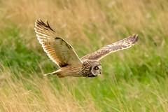 Owl series #7 (Trev Green) Tags: nikon sigma parkgate wirral d500 bird owl