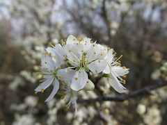 Le printemps est là.... EXPLORE à la place 20 du 27 mars (Kermitfrog ;-)) Tags: printemps fleurs spring flowers bourgeon rochefortsurnenon 39 jura bourgognefranchecomté