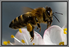 Biene im Flug (robert.pechmann) Tags: biene honigbiene insekt im flug flight fliegend marillenblüte macro makro honey bee