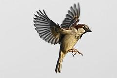 Moineau _DSC1759_DxO (jackez2010) Tags: a77mk2 a77m2 ilca77m2 sal70400g2 bif birdinflight moineau