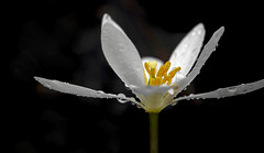 Bloodroot (Bernie Kasper (6 million views)) Tags: art berniekasper bloodroot bloom cliftyfallsstatepark cliftyfalls d750 family flower floral flowers fun hiking indiana indianawildflowers jeffersoncounty light landscape leaf leaves love madisonindiana macro madisonindianacliftyfallsstatepark nature nikon naturephotography new outdoors outdoor old outside photography plant plants park photo photos raw sigma spring statepark travel trail unitedstates usa wildflower wildflowers white