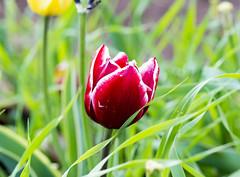 _JEM0813 (SuperQuique) Tags: tulip tulips tulipano tulipanes flores flowers mynikonlife nikond610 colorfull plant green red yellow rome italy tokina nikon