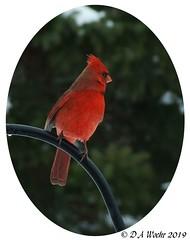 Posing Pretty (Picsnapper1212) Tags: cardinal male bird animal backyard lebanon ohio nature northern