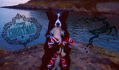 "Candy Cane Rocks ""I'll so have them licked"" (ASHA THE BORDER COLLiE) Tags: funny christmas dog border collie picture candy cane rocks bangor ashathestarofcountydown connie kells county down photography"