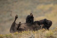 Enjoy (Samuel Raison) Tags: bison buffalo animal wildlife nature naturephotography wildlifephotography yellowstone yellowstonenationalpark yellowstonewildlife nikon nikond800 nikon4600mmafsgvr