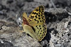 _DSC0302 (Me now0) Tags: nikond5300 ash bulgaria butterfly mountain планина никонд5300 пеперуда пепел