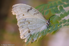White beauty (Rene Mensen) Tags: butterfly mariposa macro rene mensen zoo wildlands wings white glasshouse insect emmen