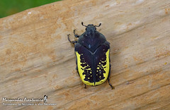 Gymnetis sp (Marquinhos Aventureiro) Tags: scarabaeidae cetoniinae gymnetini gymnetis besouro beetle wildlife vida selvagem natureza floresta brasil brazil hx400 marquinhos aventureiro marquinhosaventureiro