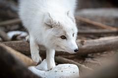 Arctic Fox Climbing Down (Eric Kilby) Tags: stonezoo animal arctic fox white fuzzy winter fluffy