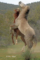 Salt River Wild Horses Arizona (littlebiddle) Tags: horses arizona saltriver equine nature wildlife mammal animal