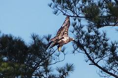 Juvenile Bald Eagle (Jim Atkins Sr) Tags: baldeagle eagle haliaeetusleucocephalus bird birdofprey fairfieldharbour northcarolina