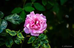 🌹 (pocket.photographs1) Tags: flower flor flores life coyhaique chile santiago