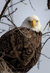American Bald Eagle (corkemup52) Tags: americanbaldeagle beatrice birds beatricenebraska baldeagle bigblueriver eagles eagle nebraska nature nikond7000 nationaleaglecenter outdoors wildlife