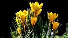 CROCUS - 6496 (ΨᗩSᗰIᘉᗴ HᗴᘉS +50 000 000 thx) Tags: flower flora crocus belgium europa aaa namuroise look photo friends be wow yasminehens interest eu fr greatphotographers lanamuroise flickering