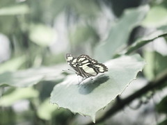 hazy (1elf12) Tags: schmetterlin butterfly malachitfalter insekt insect bremen germany deutschland botanika