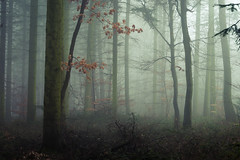 The Mourning (Netsrak) Tags: baum eu eifel europa europe forst landschaft natur nebel rheinland rhineland wald fog forest mist nature outdoor trees winter woods mourning bäume tree
