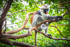 A Zanzibar Red Colobus (stefanblombergphotography.com) Tags: africa animal forrest monkey rainforrest redcolobus stefanblombergphotography tree wild wildlife wwwstefanblombergphotographycom