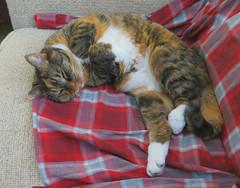 Gracie 21 January 2019 2347Ri (edgarandron - Busy!) Tags: gracie patchedtabby cat cats kitty kitties tabby tabbies cute feline