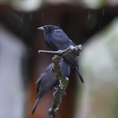 5D4_5313_DPP.Comp2048 (SF_HDV) Tags: canon5dmarkiv canon5dmark4 5dmarkiv 5dmark4 5dm4 puembo bird cowbird shinycowbird rain cloudforest ecuador pichinchaprovince