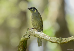 Lewin's Honeyeater (aj4095) Tags: lewins honeyeater bird australia nikon nature wildlife birding