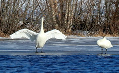 Wings..... (irio.jyske) Tags: naturepictures naturephoto naturephotograph nature naturephotographer naturepics naturephotos natural naturescape naturepic animalphotographer animalphotograph animals animal birdphoto birdpics birdphotograph birds birdphotographer birdpic bird swan ice winter lake river water trees snow landscapes landscapephotographer landscapephotos lakescape landscapepics lanscape landscapepic landscapephotograph landscape beauty beautiful wings colors white blue nice