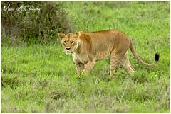 Princess of Athi! (MAC's Wild Pixels) Tags: princessofathi lion lioness female femalelion pantheraleo simba animal mammal wildlife africanwildlife wildafrica wildanimal wildcats wildpussy bigpussycat bigfive safari gamedrive outdoors outofafrica nature naturephotography wildlifephotography beautifulpussy beautifulcat athibasindam nairobinationalpark nnp nairobi kenya macswildpixels alittlebeauty coth specanimal coth5 ngc npc