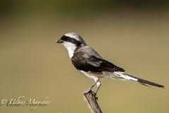 Grey Backed Fiscal Shrike (mayekarulhas) Tags: narok riftvalleyprovince kenya ke maasai mara wildlife wild bird avian africa safari shrike fiscal