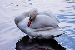 The Swan of Sutton Park (Mikon Walters) Tags: sutton coldfield park england britain uk west midlands birmingham creature animals animal swan bird white living things nature wildlife wild life outdoors keepers pool nikon d5600 sigma 150600mm contemporary super zoom lens photography close up sleeping