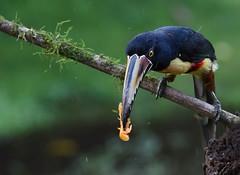 Collared Aracari (anacm.silva) Tags: collaredaracari aracari ave bird wild wildlife nature natureza naturaleza birds aves bogarintrail arenal costarica pteroglossustorquatus