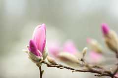 Pink Magnolias in the Mist - Spring 2019 (Wilma v H- running behind a bit Sorry!) Tags: magnolias pinkmagnolias flowers pinkflowers closeup mist misty fog foggy begraafplaatsdeessenhof essenhofcemetery trees plants macro dordrecht dof nederland netherlands springscenics spring springflowers spring2019 2019 luminositymasks tkactionsv6panel canoneos60d canon100mm28f lente outdoors