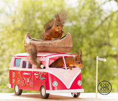 red squirrel sitting in an camping bus (Geert Weggen) Tags: mammal rodent squirrel nature animal red flower closeup cute funny happy summer look tender love redsquirrel horizontal backgrounds colorimage environment nopeople photography volkswagen bus retrostyled hippie minivan oldfashioned vanvehicle camping car collectorscar driving landvehicle outdoors stationwagon transportation kayak canoe boat ride road geert weggen sweden bispgården ragunda jämtland hardeko