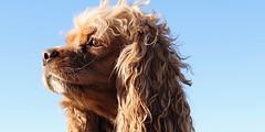 Bailey Bug (shelbygallen) Tags: dog dogs curly hair fur sky cocker spaniel king charles cavalier nose hazel eyes