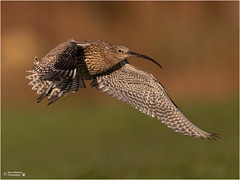 EVENING CURLEW (d1ngy_skipper) Tags: curlew easternmoors waterbirds waders wildlife europeanwildlife englishnature europeanbirds britishwildlife britishbirds
