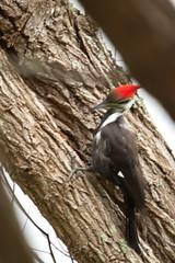 Pileated Woodpecker (sr667) Tags: portcharlotte florida usa us olliespond olliespondpark woodpecker pileatedwoodpecker dryocopuspileatus animalia chordata aves piciformes picidae dryocopus dpileatus sigma canon 150500mmf563apodgos 150500mm bird birds