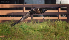take-out. (evelyng23) Tags: florida usa haliaeetusleucocephalus baldeagle juvenile eagle raptor birdofprey birding avian wildlife inflight fish prey pentaxk3 aficionados pentax sigma 300mmf28 2xtc 600mm evelyng23 lesson m15 harriet e12 2019 april 3months