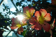 Komorebi (AGUYTAKINGPICTURES) Tags: singapore flowers flowerdome komorebi