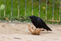 20181007_Paris_Corneille noire (thadeus72) Tags: aves birds carrioncrow corneillenoire corvidae corvidés corvuscorone oiseaux passériformes