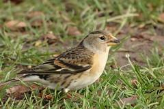 Brambling (hedgehoggarden1) Tags: brambling birds rspb wildlife nature sonycybershot bird norfolk eastanglia uk sony creature animal feathers grass