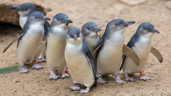 The Magnificent Seven (tourtrophy) Tags: bluepenguins penguins birds australia canon5dmark3 canonef100400mmf4556lisusm wildlife