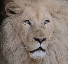 african white lion Ouwehands 094A0046 (j.a.kok) Tags: whitelion witteleeuw leeuw lion africa afrika afrikaanseleeuw africanlion afrikaansewitteleeuw africanwhitelion animal mammal zoogdier dier predator ouwehands ouwehandsdierenpark ouwehand credo pantheraleoleo timbavati
