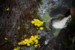 Guinea flower on the rocks (busyBlueMtsGranny) Tags: hibbertia guinea flower cradlemountainnationalpark tasmania
