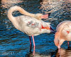 Counting the sheep ... -8673 (George Vittman) Tags: bird camargue flamingo pose water marsh nikonpassion wildlifephotography jav61photography jav61