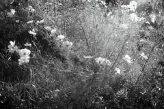 Light and Flowers (A. Bockheim) Tags: nikon f2as fomapan 200 creative 50mm f14 black white film flowers