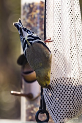 BackyardBirds_1-21-19-65 (RobBixbyPhotography) Tags: florida goldfinch jacksonville backyard birds