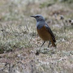 Sentinel Rock-Thrush (Monticola explorator)-7564 (Dave Krueper) Tags: africa aves bird birds landbird muscicapidae passeriformes passerine rockthrush sert southafrica