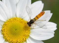 HFDF 2/1/19 (cotinis) Tags: insect diptera hoverfly syrphidae syrphinae sphaerophoria sphaerophoriacontigua northcarolina piedmont canonef100mmf28macrousm fridayflyday