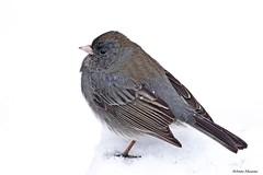 Dark-eyed Junco (Anne Ahearne) Tags: wild bird animal nature wildlife closeup portrait darkeyedjunco cute songbird birdwatching snow winter junco