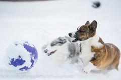 Snow Corgis 7 (Kenjis9965) Tags: sel70200gm sony70200mmf28gm sonya7iii sony a7 iii mark 70200mm f28 gm g master cardigan welsh corgi corgo doggo doge pupper playing snow winter having fun deep polar vortex outside puppy dog ball