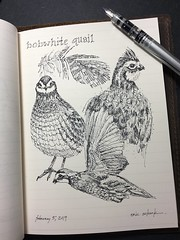 Bobwhite quail (schunky_monkey) Tags: fountainpen penandink ink pen illustration art drawing draw journal nature sketchbook sketching sketch flying feathers birds bird quail bobwhitequail